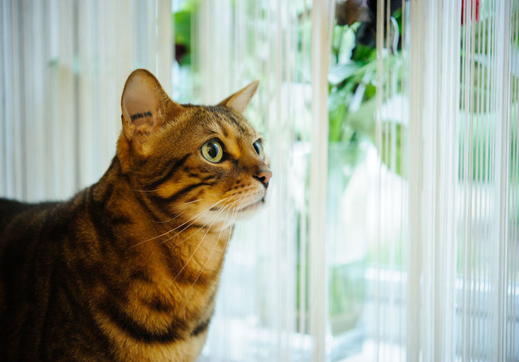 Bengal cat looking out the window Animal Themes Cat Animal One Animal Feline Domestic Domestic Cat Window Domestic Animals Looking Indoors  No People Glass - Material Side View Close-up Watching Profile View Animal Head  Contemplation Looking Out Of The Window Bengal Bengal Cat Indoor Cat