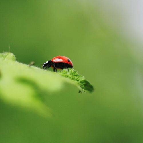 Insect One Animal Animals In The Wild Animal Wildlife Animal Themes Red No People Nature Leaf Outdoors Close-up Day Ladybug Extension Tube Macro Roslagen Bad Quality Summer Green Market Canon 450D Animals In The Wild Green Color Sweden