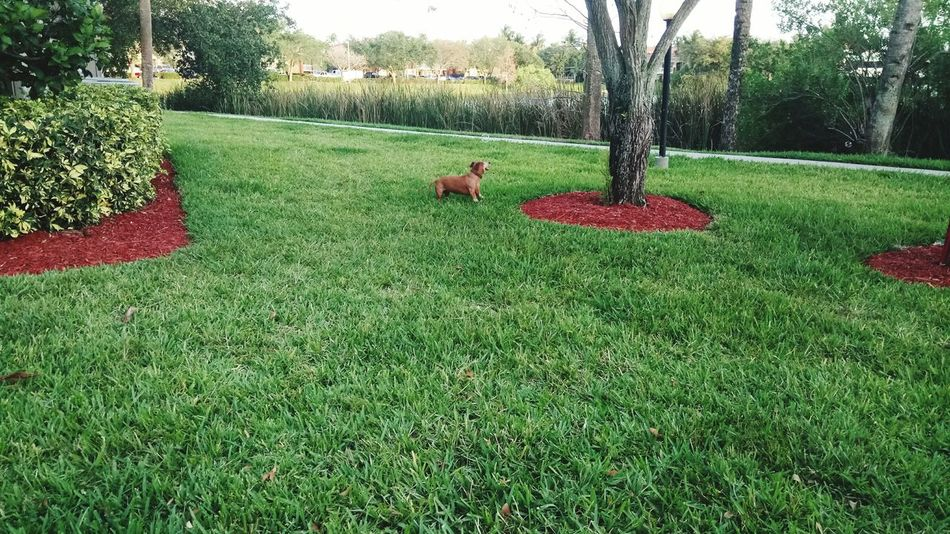 She just enjoys to run, roll and catch the bubbles Grass Tree Nature Green Color Park - Man Made Space Growth Red Day Outdoors Flower Plant Beauty In Nature Animal Themes Dashund Pet Dogslife EyeEmNewHere
