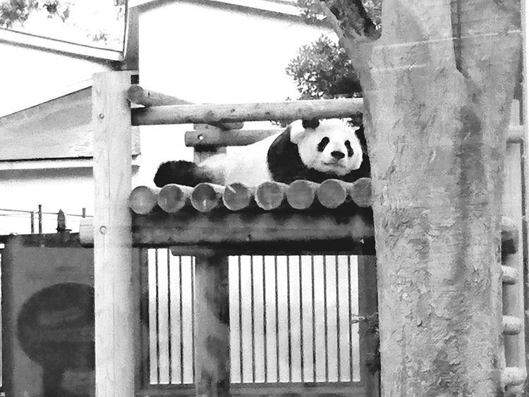 Animal Themes One Animal PANDA ♡♡