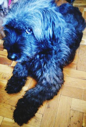 Pets Dog Blue Lying Down Relaxation Black Color Hardwood Floor High Angle View Puppy Animal Hair