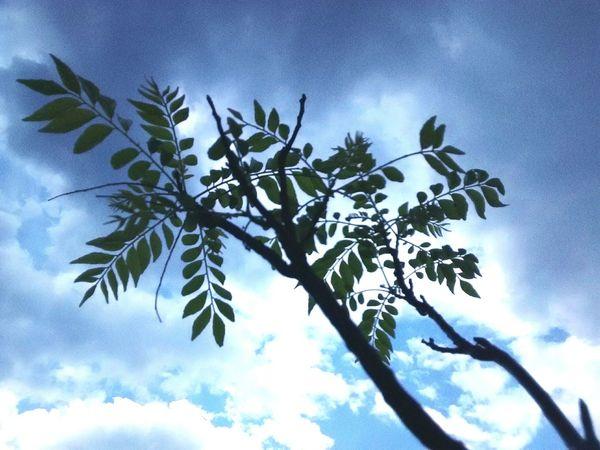 Kadipatta, rooftop plantation, urban cultivation. Blah blah... Leaves🌿 Edibleleaves Sky And Clouds Rainy Days☔