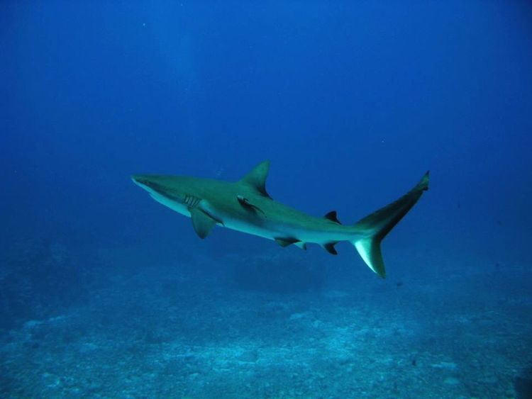 Underwater Photography Grey reef shark, Blue Corner, Palau. Huffingtonpost Mission Palau Ocean Shark Sharks