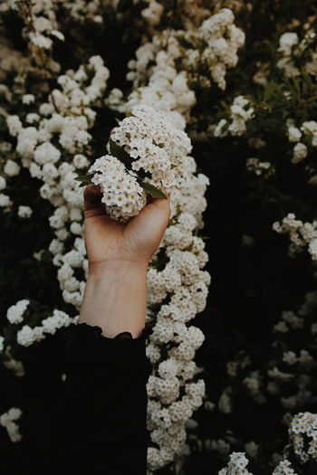 Close-Up Of Hand Holding White Flowers
