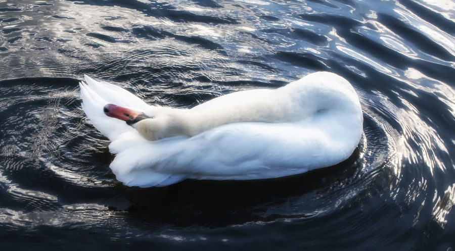 Swan. High Angle View Swimming Animal Themes One Animal Water Bird Nature No People Day Swan Outdoors Horizontal Hampshire  England Hampshire  Southsea Portsmouth Canoe Lake Birds_collection England, UK