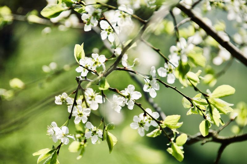 Flower Head Tree Flower Branch Springtime Petal Blossom Leaf Apple Blossom Orchard In Bloom Blooming Fruit Tree Apple Tree