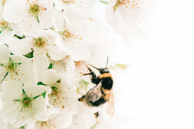 Bee Bee And Flower Bee On Cherry Blossoms Bee 🐝 Biene Bienen Bei Der Arbeit Cherry Blossom Cherry Blossoms Cherry Blossoms And Bee Cherry Tree Frühling Frühlingserwachen Honey Bee Honey In The Making Kirschbaum Kirschblüten  Nature Nature Photography Nikon Spring Springtime Springtime Blossoms