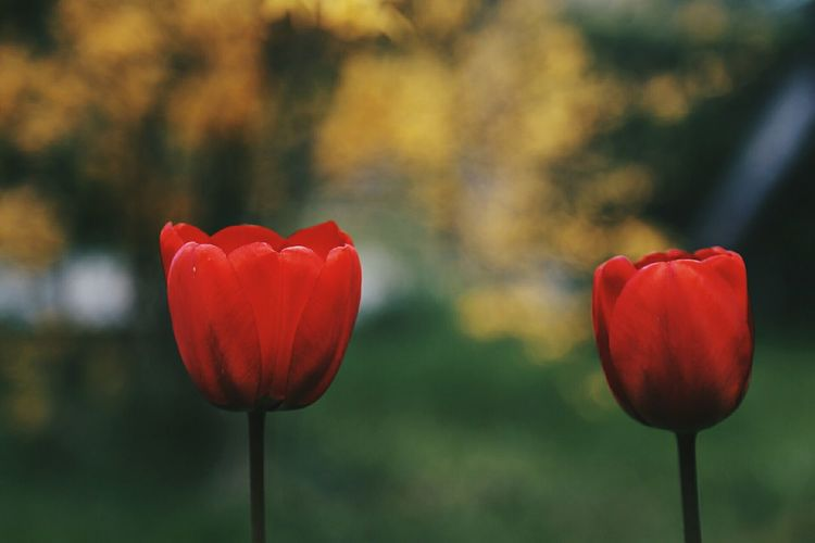 Couples of Tulip Series Flower Red Freshness Tulip Beauty In Nature Plant Nature Flower Head Close-up Springtime Springhassprung The Weekend On EyeEm Natural Light EyeEm Nature Lover Red Nature Plant Growth Spring Spring Has Arrived Place Of Heart