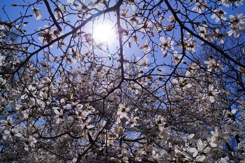 Low angle view of white magnolia tree against blue sky