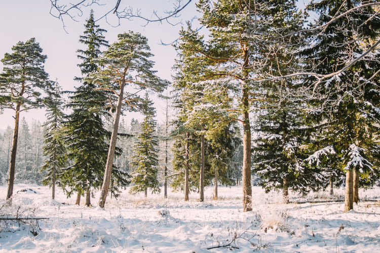 Winter Snow Forest Landscape Nature Sunny Sunlight Tree Cold Temperature WoodLand Outdoors Coniferous Tree Beauty In Nature Scenics - Nature Tranquility
