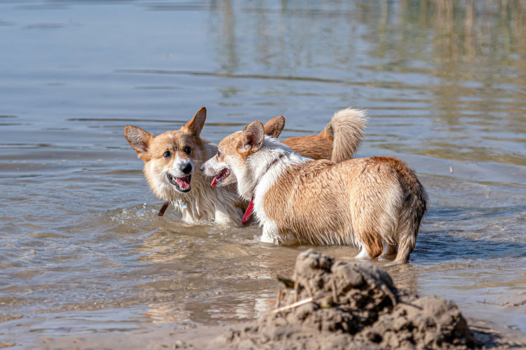 Dogs standing in a lake