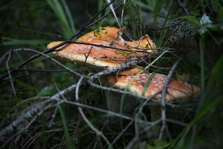 Close-up of mushroom on grass