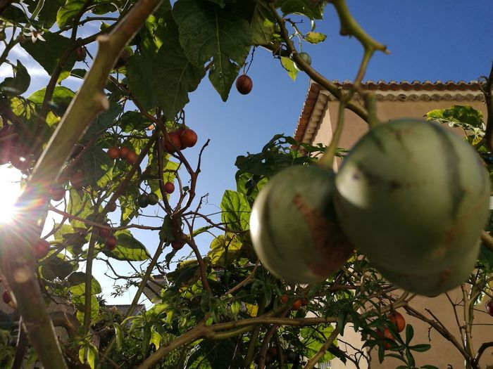 Fruit Tree Hanging Growth Nature Healthy Eating Green Color Sunlight Leaf Agriculture Beauty In Nature One Of Portuguese Tomato Red Color Fruits And Vegetables Crafted Beauty EyeEmNewHere Food Stories