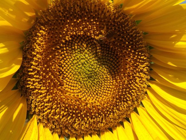 Flower Petal Yellow Beauty In Nature Nature Fragility Flower Head Sunflower Freshness Pollen Close-up Growth No People Day Plant Blooming Animal Themes Outdoors Sunflower