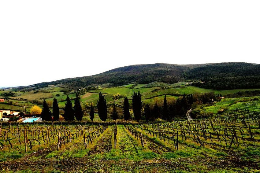 Wine Yards Italy Sangimignano San Gimignano Trees Crops Spring Time In Italy Spring Time In San Gimignano Landscape Landscape_photography Urban Spring Fever Landscapes With WhiteWall