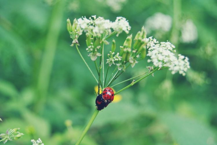 Close-up of ladybugs mating on cow parsley