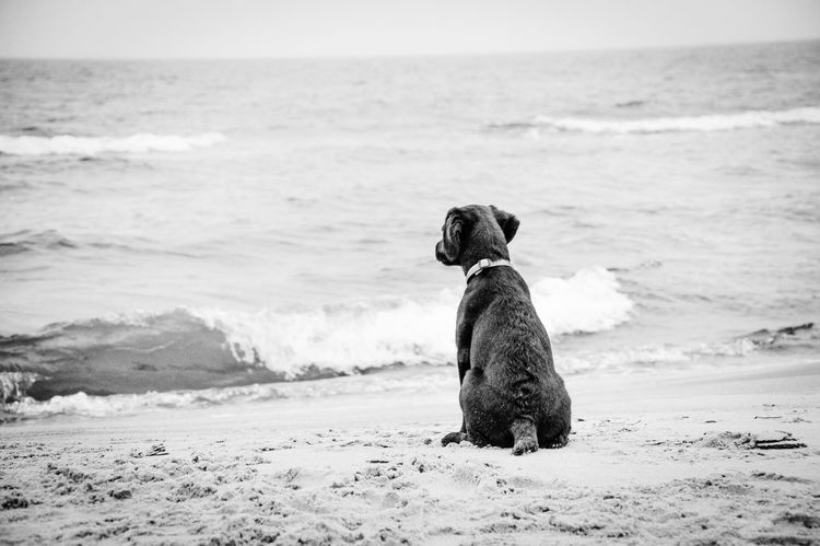 Animals Dogs Blackandwhite Photography Labrador Retriever Young Dog Baltic Sea Waves Beach Melancholy Baltic Sea Winter Watching Waves Sitting Dog