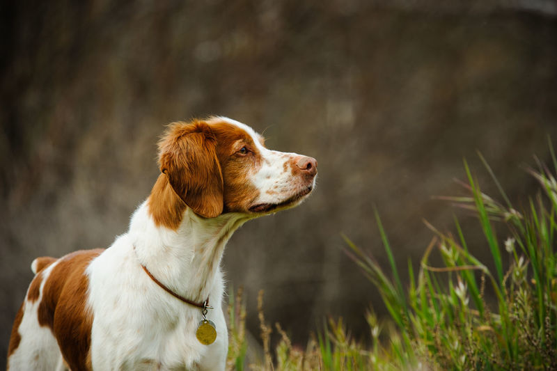 Brittany Spaniel Alertness Animal Themes Brittany Canine Day Dog Field Grass Nature Nature No People Outdoors Pet Purebred Spaniel