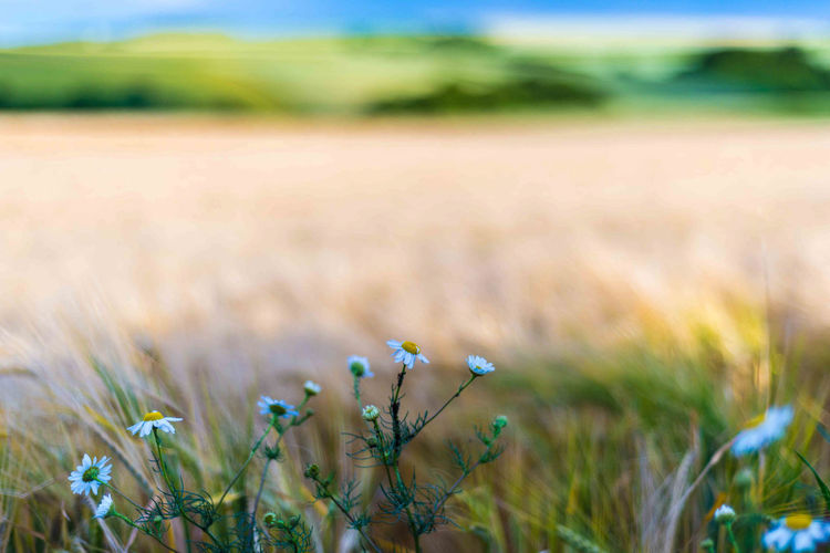 Agriculture Beauty In Nature Close Up Close-up Color Day Farm Field Flower Flower Head Grass Growth Landscape Nature No People Outdoors Plant Rural Scene Scenics Tranquil Scene Wheat