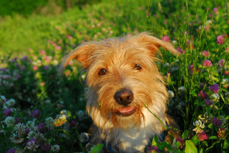 Dog Photography Dog Mutt Flowers Grass Dogs Of EyeEm Beauty In Nature Sunsey Yorkie Mix American Staffordshire Terrier Yorkshire Terrier Happiness Outside Portrait Spring Plants Canine Canine Photography Canine Companion Protruding Looking At Camera Animal Tongue Panting