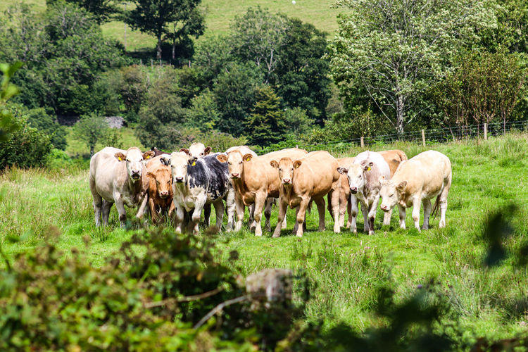 Group of cows keeping an eye