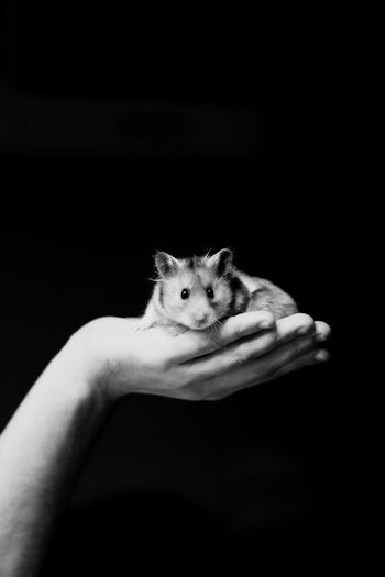 Cropped image of hand holding hamster against black background