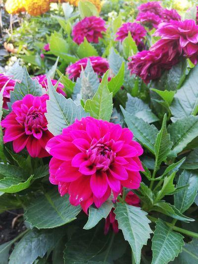 Flower Head Flower Leaf Pink Color Multi Colored Summer Beauty Petal Close-up Plant