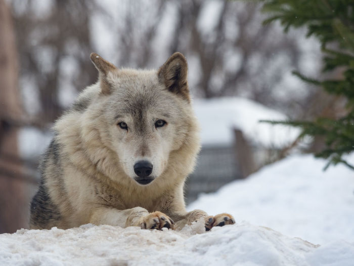 Animal Themes Animal Wildlife Animals In The Wild Beauty In Nature Cold Temperature Day Field Focus On Foreground Looking At Camera Mammal Nature No People One Animal Outdoors Portrait Snow Tree Weather Winter Wolf Zoo
