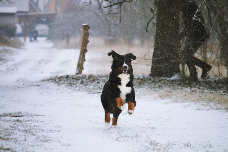 Animal Animal Photography Animal Themes Cold Cold Days Cold Temperature Cold Winter ❄⛄ Dog Domestic Animals Enjoy Enjoying Life Happy In Front Of Jumping Mammal Man Motion My Dog One Animal Pets Running Snow Snowing Tree Winter