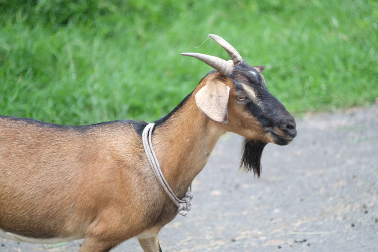 Goat Standing On Footpath