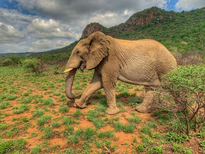 African Elephant bull African Elephant Animal Themes Animal One Animal Animals In The Wild Mammal Cloud - Sky Animal Wildlife Outdoors Beauty In Nature Sky No People Herbivorous