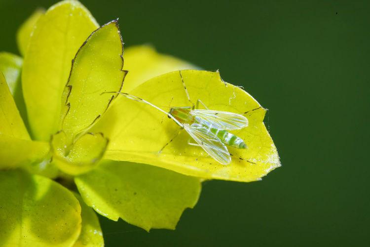 搖蚊 Leaf Insect