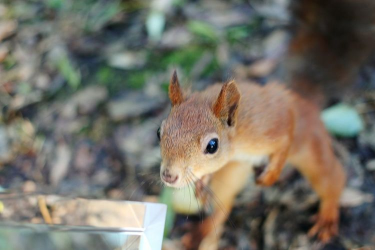 Animal Themes Animals In The Wild No People One Animal Animal Wildlife Squirrel Close-up Mammal Nature Outdoors Day Domestic Animals Beauty In Nature Autumn