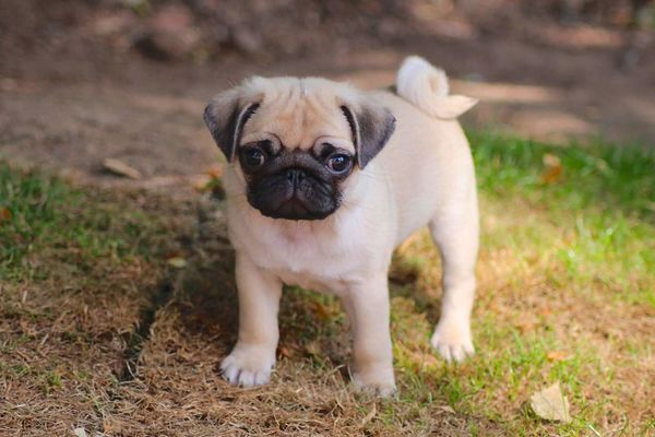 My pug when he was a pup. Pets Dog Looking At Camera Animal Themes One Animal Domestic Animals Animal Outdoors Grass Nature Pug Portrait No People Mammal Pug Life  Pug Love Puggy Puppy Dogs Dog Portrait