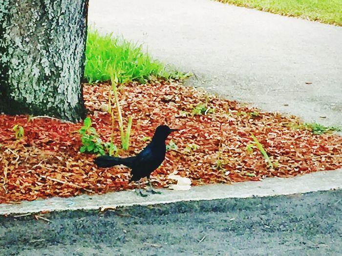 Fall Beauty a Proud Crow