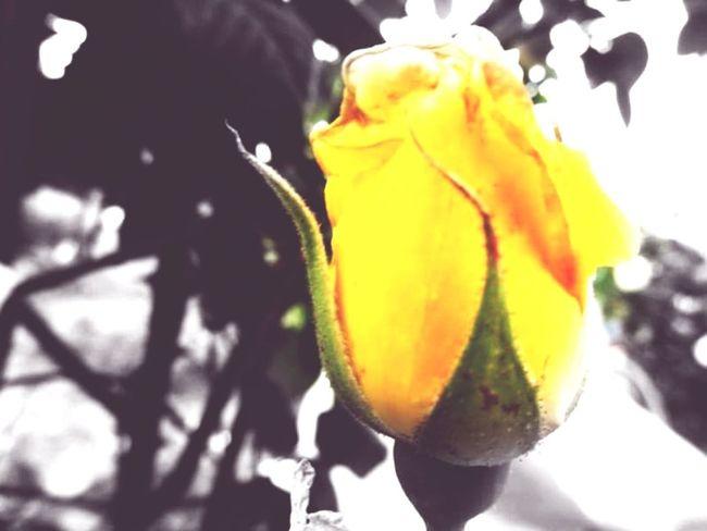 Yellow Rose Bud Close-up Freshness No People Black Background Nature Outdoors Day Lefka Cyprus Lefka, Cyprus