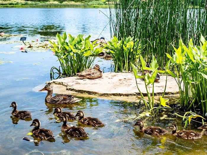 Ducks in the