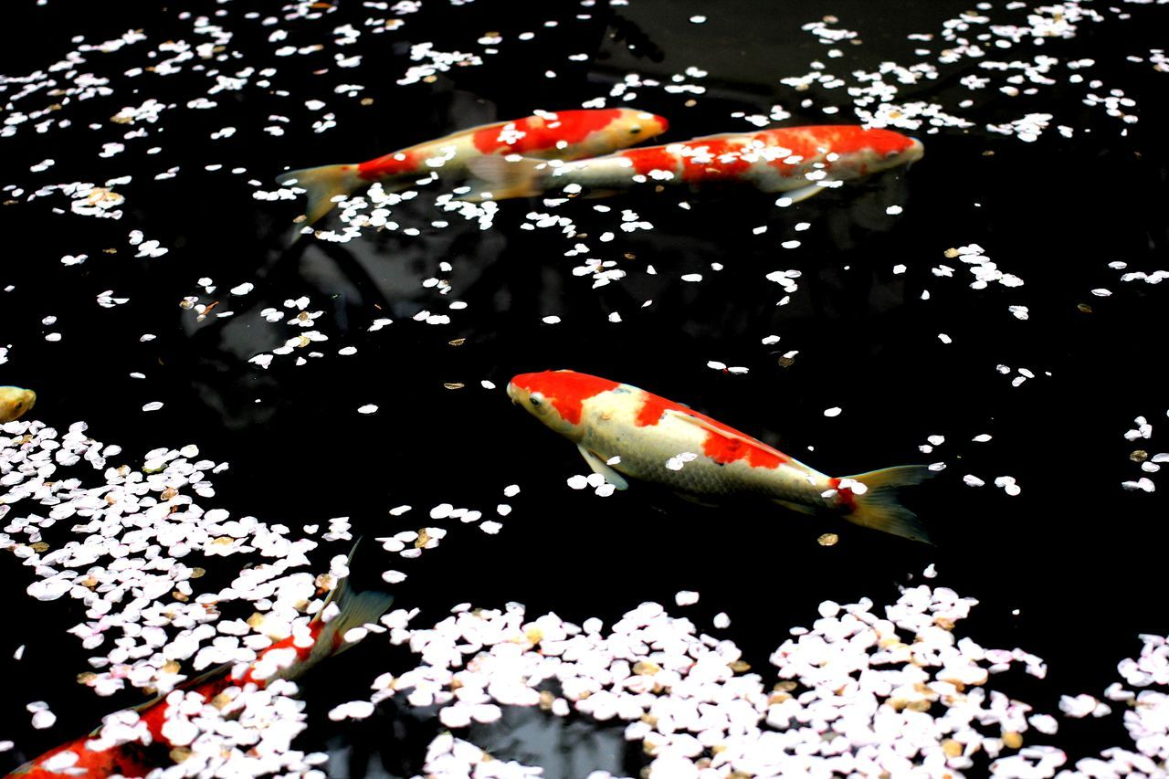 Blossom petals and fish by water surface