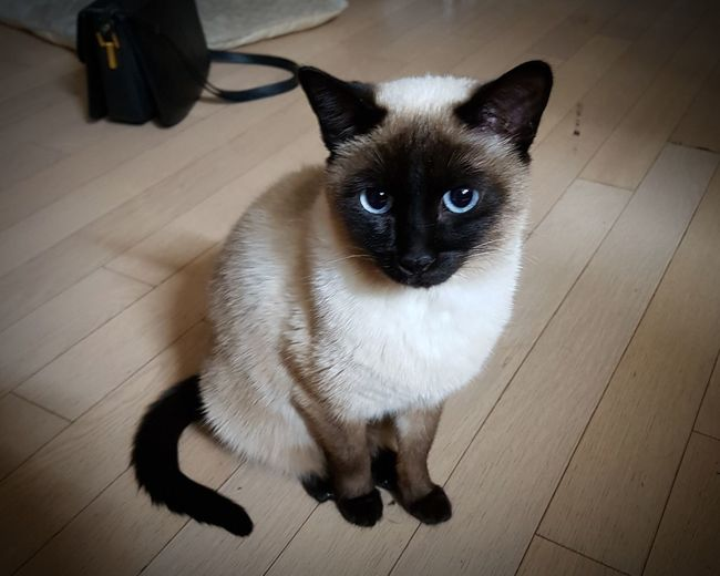 eye contact Pets Domestic Cat Domestic Animals One Animal Feline Animal Animal Themes Looking At Camera Indoors  Siamese Cat Sitting No People