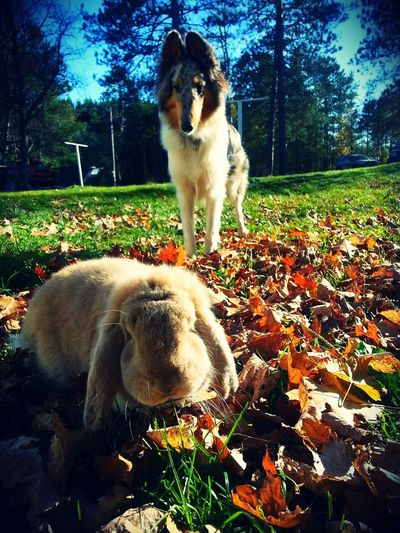 French Lop Rabbit Collie
