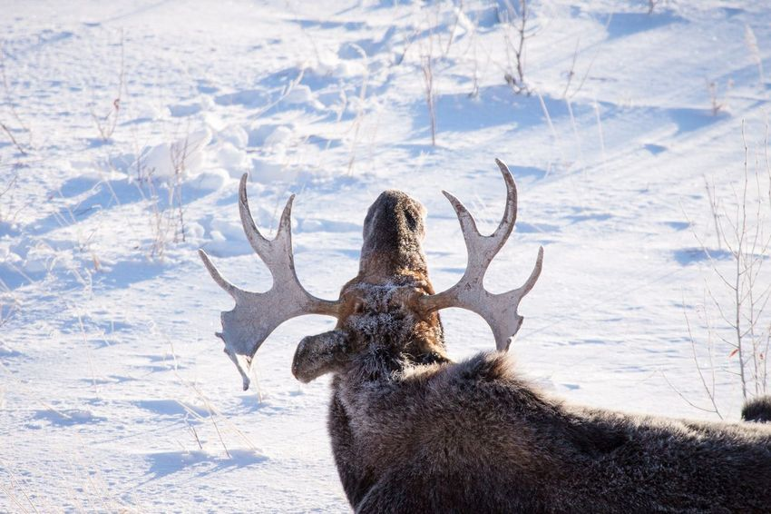Bull Moose at rest Antlers Moose Animals In The Wild EyeEm Selects Snow Winter Cold Temperature One Person Sunlight Nature Day Land Shadow Environment Outdoors