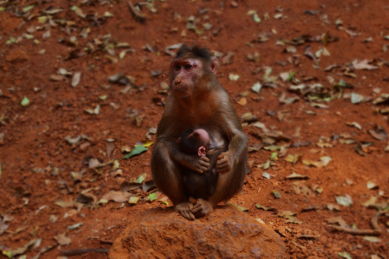 Animals Blurred Background Day EyeEm Gallery Feeding Animals Full Length Leaf Matheran Monkey No People Outdoors Red Soil Shadow Sitting Stone