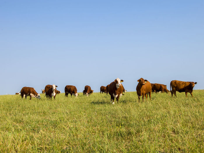 Cows on field against clear sky