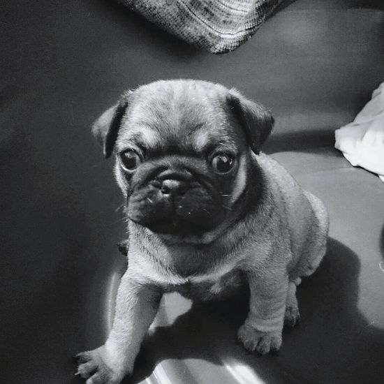 Daddy's little girl. Looking At Camera Pets One Animal Portrait Animal Themes Dog Domestic Animals Close-up Black And White Photography Monochrome Blackandwhite Dogphoto Dog Life Petslife Pet Love Pet Owner Pet Photography  PugPuppy Pug Time Pet Photography  Puglover Pugofmylife Pugsnotdrugs  Pug Love Pug Life