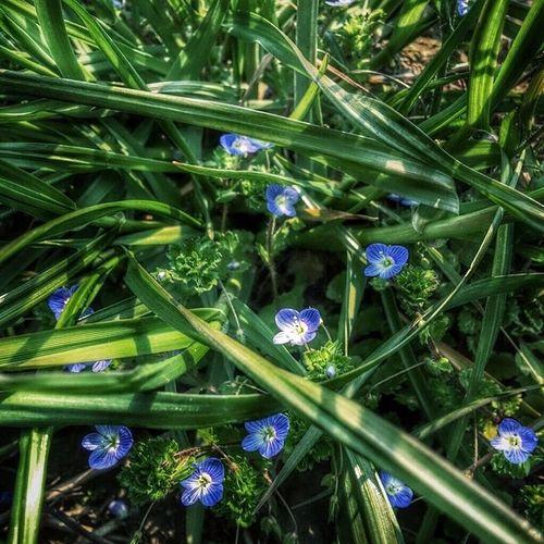 花 草花 光 緑 青 ローアングル オオイヌフグリ