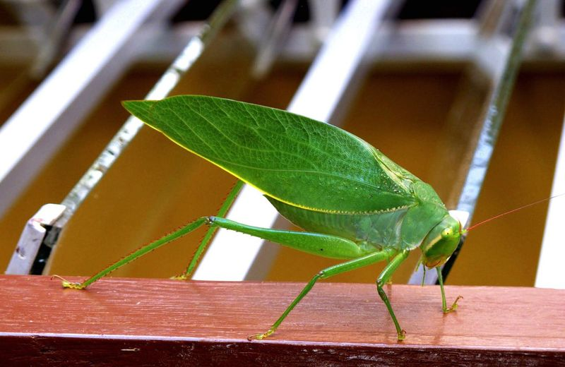 San Carlos, Antioquia Insect Photography Insect Paparazzi Green Grasshopper Grass Hopper Leaf Green Color One Animal Close-up Focus On Foreground Day No People Animals In The Wild Insect Animal Themes Nature Outdoors