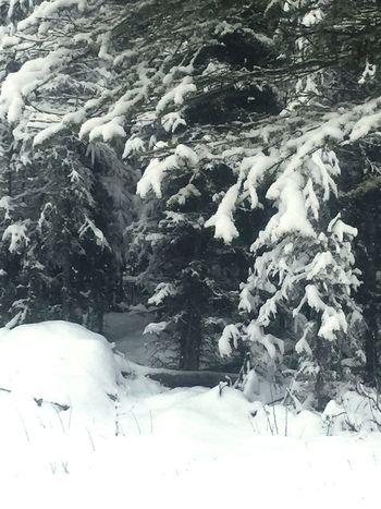 Snow trees Alaska