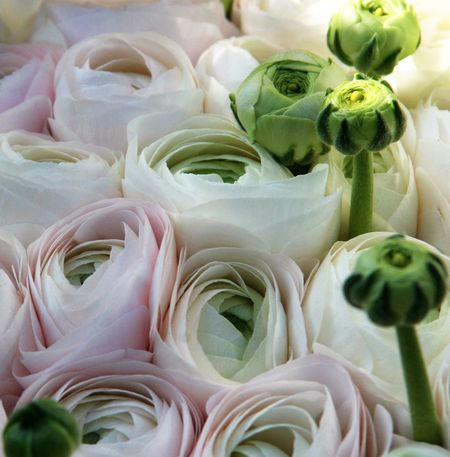 Backgrounds Beauty In Nature Bouquet Bouquet Of Flowers Bud Buds In Bloom Close-up Day Flower Flower Head Fragility Freshness Full Frame Nature No People Ranunculus Soft Pink Soft Pink Petal