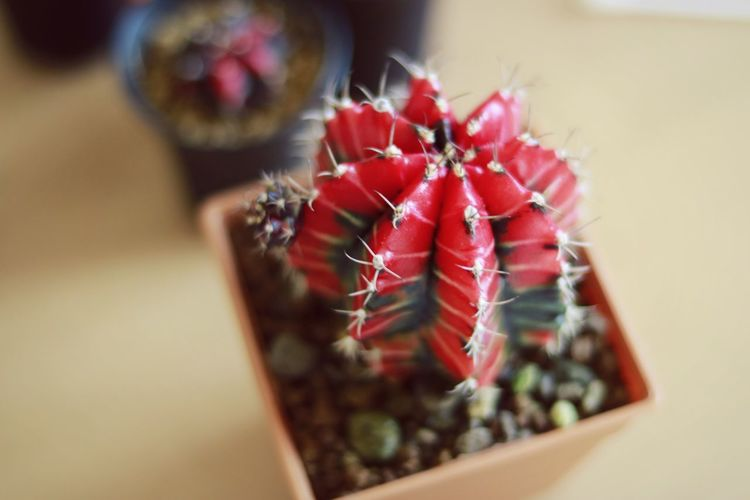 Close-up Indoors  Nature Red Cactus Garden Cactusclub Cactus Nature Cactus Collection Cactus Beauty In Nature Nature Gymnocalycium Gymnocactus 3XSPUnity 3XSPUnity EyeEm Beauty Gymnocalycium Mihanovichii No People