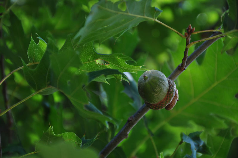 Low Angle View Of Acorn Growing On Tree Acorn Autumn Food And Drink Horizontal Low Angle View USA Beauty In Nature Close-up Color Image Day Food Freshness Green Color Growth Leaf Nature No People Nut - Food Oak Tree Outdoors Red Oak Selective Focus Tree
